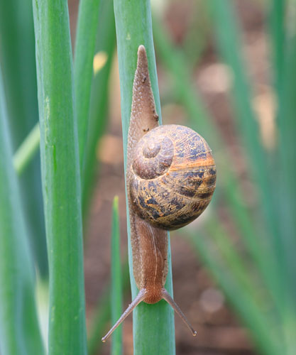 Common Garden (or Allotment) Snail